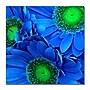 Trademark Fine Art Amy Vangsgard 'Blue Gerber Daisies'