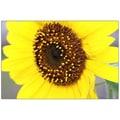 Trademark Fine Art Sunflower by Cary Hahn-32x47 Canvas Art 32x47 Inches