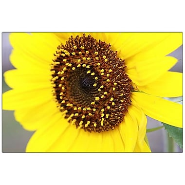 Trademark Fine Art Sunflower by Cary Hahn-32x47 Canvas Art 32x47 Inches