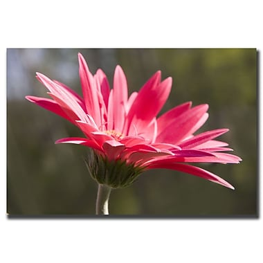 Trademark Fine Art Pink Flower by Cary Hahn Canvas Art 14x19 Inches