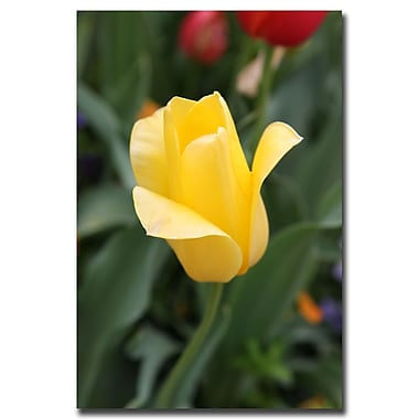 Trademark Fine Art Yellow Tulip by Cary Hahn-Gallery Wrapped Canvas Art 18x24 Inches