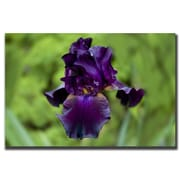 Trademark Fine Art Purple Flower by Cary Hahn-Canvas Art Ready to Hang 18x24 Inches