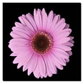 Trademark Fine Art Pink Gerber Daisy 18x18 Inches