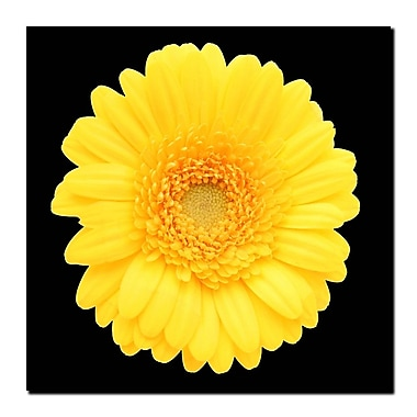 Trademark Fine Art Yellow Gerber Daisy-Ready to Hang Canvas Art 24x24 Inches