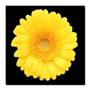 Trademark Fine Art Yellow Gerber Daisy-Ready to Hang Canvas Art
