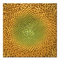 Trademark Fine Art Sunflower by AIANA Ready to Hang Canvas Art 24x24 Inches