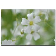 Trademark Fine Art Kurt Shaffer 'Baby's Breath II' Canvas Art