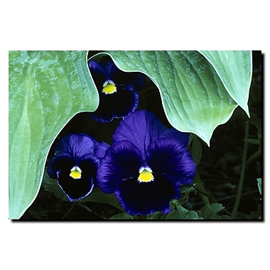 Trademark Fine Art Peeking Pansies by Kurt Shaffer-Ready to hang canvas art 28x44 Inches