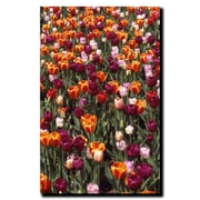 Trademark Fine Art Multi-Colored Tulips by Kurt Shaffer-Gallery Wrapped 1 18x24 Inches