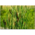 Trademark Fine Art Prairy Grass III by Kurt Shaffer Canvas Ready to Hang