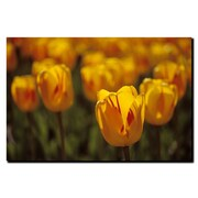 Trademark Fine Art Tulips on Fire by Kurt Shaffer-Gallery Wrapped Canvas 18x24 Inches