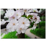 Trademark Fine Art Cherry Blossom by Kurt Shaffer-Gallery Wrapped