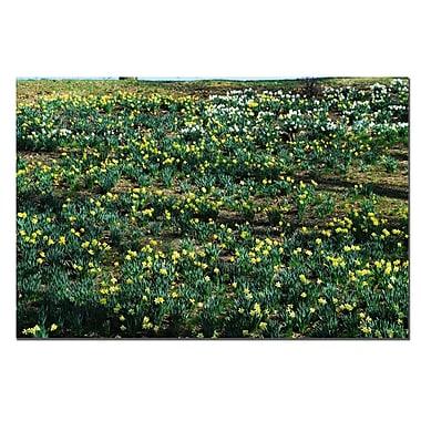 Trademark Fine Art Daffodil Hill II by Kurt Shaffer-Gallery Wrapped