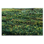 Trademark Fine Art Daffodil Hill II by Kurt Shaffer-Gallery Wrapped