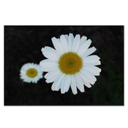 Trademark Fine Art Daisies on Black by Kurt Shaffer-Gallery Wrapped 16x24 Inches