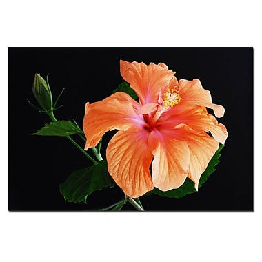 Trademark Fine Art Peach Hibiscus on Black by Kurt Shaffer Canvas Art 22x32 Inches
