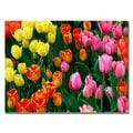 Trademark Fine Art Kurt Shaffer 'Multi-Colored Tulips' Canvas Art 22x32 Inches