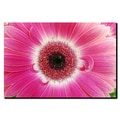 Trademark Fine Art Pink Gerber by Kurt Shaffer-Gallery Wrapped Canvas Art