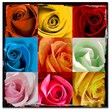 Trademark Fine Art 'Andy's Rose Patch' 14in. x 14in. Canvas Art