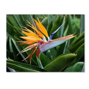 "Trademark Fine Art 'Bird of Paradise' 14"" x 19"" Canvas Art"