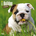 2014 Browntrout Bulldog Puppies  Square 12x12