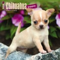 2014 Browntrout Chihuahua Puppies  Square 12x12