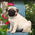 2014 Browntrout Pug Puppies  Square 12x12