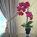 Jane Seymour Botanicals Phalaenopsis Orchid in Glass Pot; Fuchsia