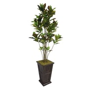 "Laura Ashley 91"" Croton Tree With Multiple Trunks in 16"" Fiberstone Planter, Black/Bronze"