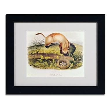 Trademark Fine Art 'Black-Footed Ferret'