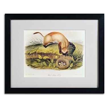 Trademark Fine Art 'Black-Footed Ferret' 16
