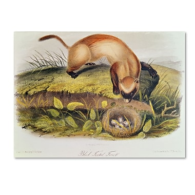Trademark Fine Art 'Black-Footed Ferret' 14