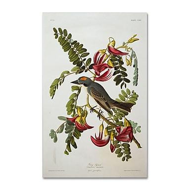 Trademark Fine Art 'Gray Tyrant #44; Gray Kingbird' 30