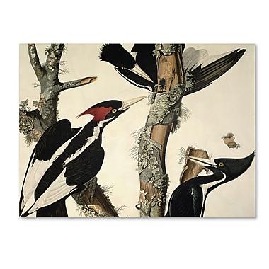 Trademark Fine Art 'Ivory-Billed Woodpecker' 26