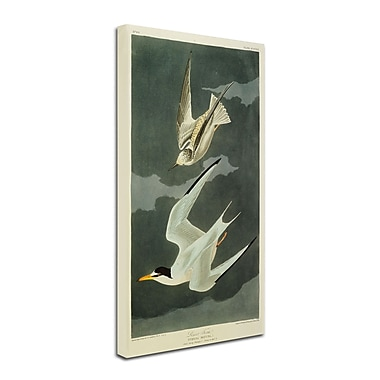 Trademark Fine Art 'Lesser Tern #44; Little Tern' 10