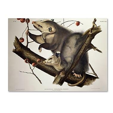 Trademark Fine Art 'Virginian Opossum' 24