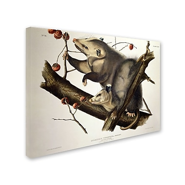 Trademark Fine Art 'Virginian Opossum' 18