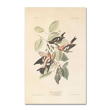 Trademark Fine Art 'White-Winged Crossbill' 30