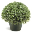 National Tree Co. Japanese Holly Globe Bush Desk Top Plant in Pot