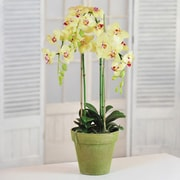 Jane Seymour Botanicals Phalaenopsis Orchids in Pot