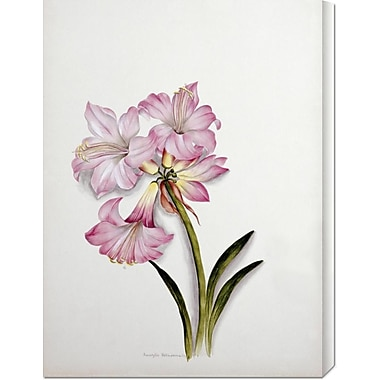 Global Gallery 'Amaryllis Belladonna' by Ethel May Dixie Painting Print on Wrapped Canvas