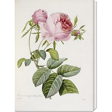 Global Gallery 'Rose' by Pierre Joseph Redoute Painting Print on Wrapped Canvas