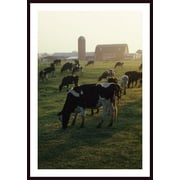 Printfinders 'Dairy Cattle Grazing' by David Ponton Framed Photographic Print