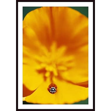 Printfinders 'Ladybug on Poppy Flower Petal' by Craig Tuttle Framed Photographic Print