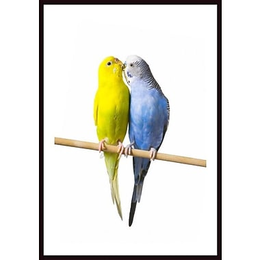 Printfinders 'Budgerigar on a Perch II' by Corey Hochachka Framed Photographic Print