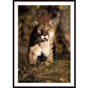 Printfinders 'Stalking Mountain Lion' by David Ponton Framed Photographic Print