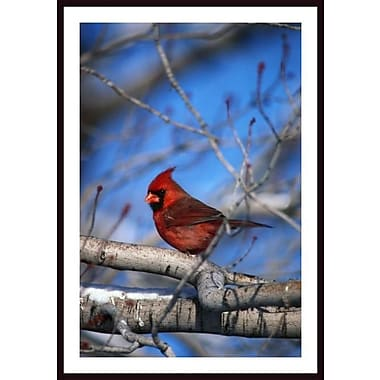 Printfinders 'Male Northern Cardinal Bird' by David Spier Framed Photographic Print