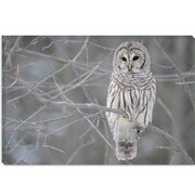 iCanvas Barred Owl on Branches Photographic Print on Canvas; 40'' H x 60'' W x 1.5'' D