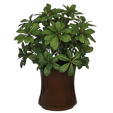 House of Silk Flowers Artificial Mini Pittosporem Desk Top Plant in Vase; Brown