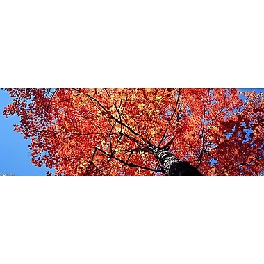 iCanvas Panoramic Low Angle View of a Maple Tree Photographic Print on Wrapped Canvas
